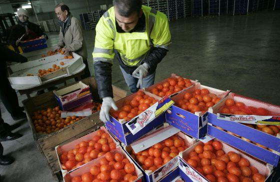 Un inspector revisa un cargamento de naranjas en Castellón.