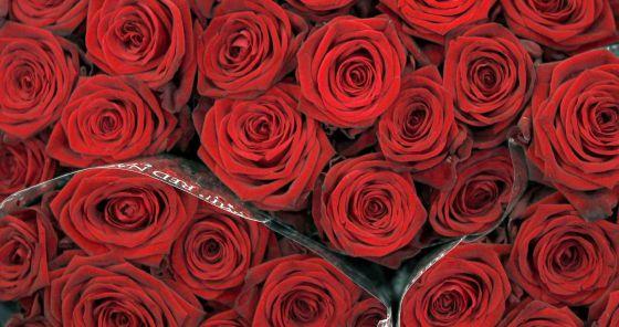 Rosas empaquetadas para su venta.