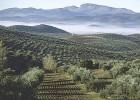 El Gobierno no aplica al olivar andaluz la rebaja fiscal por sequía