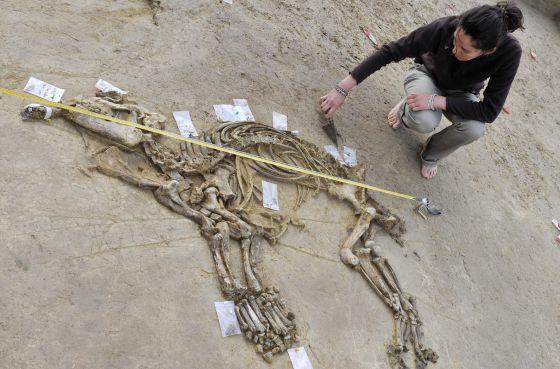 Los restos del tapir hallado en Girona de más de tres millones de años.