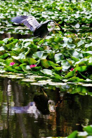 No és l'Amazònia sinó el Turó Park de Barcelona dilluns passat: un ornit amb un peix recent pescat a l'estany.