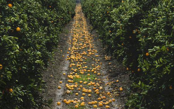 Naranjas en el suelo al pie de los árboles en una explotación.