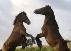 La Xunta permite sacrificar caballos salvajes que no lleven microchip