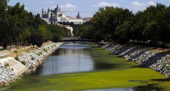 Plaga de algas en el río Manzanares.