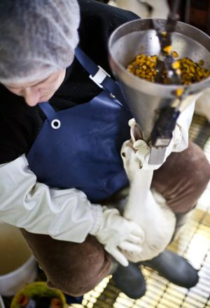 Imáganes de la investigación de Igualdad Animal en la granja Momotegi, que provee foie gras a Mugaritz.