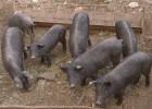Agricultura simplifica la normativa de producción del cerdo ibérico