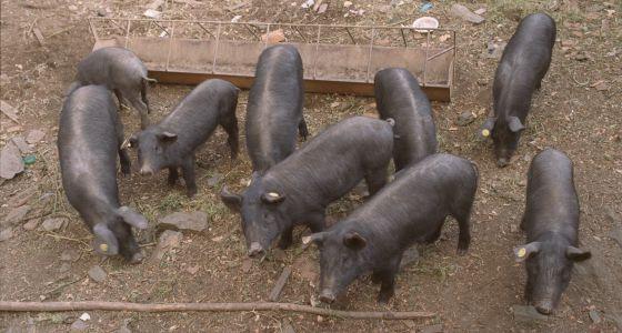 Piara de cerdos ibéricos en Aracena (Huelva).