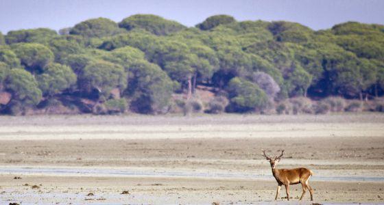 Un ciervo en el parque de Doñana, donde Gas Natural tiene previsto ampliar la extracción de hidrocarburos.
