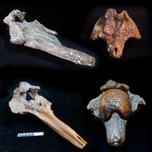 Cráneos fósiles de las cuatro especies de zifio descubiertas