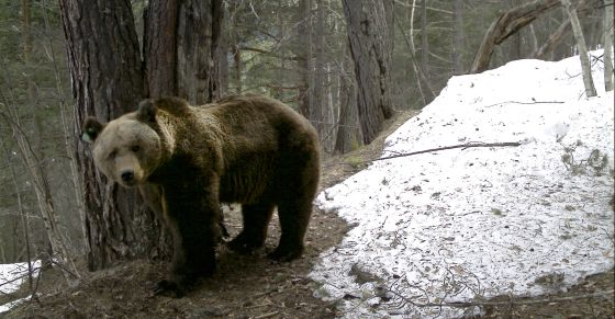 Pyros, el primer ejemplar de oso pardo llegado al Pirineo desde Eslovenia.