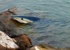 Sacrificado un tiburón enfermo avistado en la playa de Alboraia