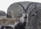 Cabras monteses de Guadarrama repoblarán el Pirineo francés