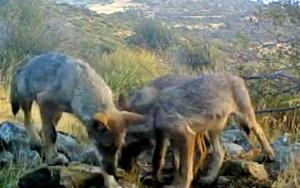 Lobeznos captados en el Parque Nacional de Guadarrama.
