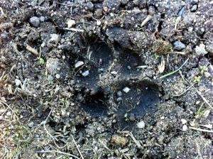 Huella de un lobo en la sierra madrileña.