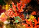 El coral resurge en las Illes Medes