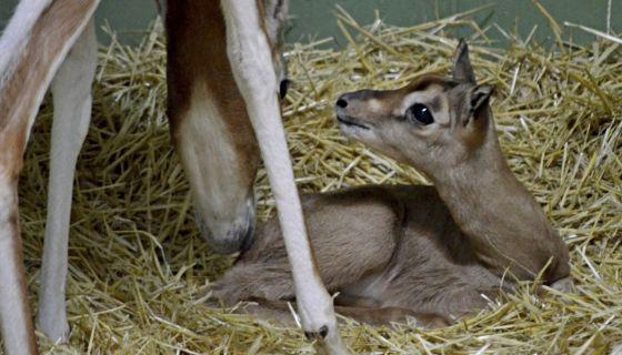 El ejemplar de gacela Mhorr nacida en Bioparc.