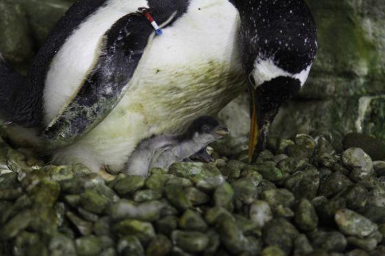 Nacen cuatro pingüinos Juanito en l'Oceanogràfic de Valencia