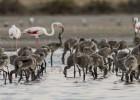 La agresividad de las gaviotas diezma los flamencos del delta
