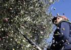 Merma la cosecha y crecen los robos de aceituna