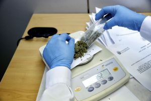 An employee weighs seized marijuana.
