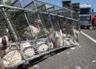 Un camión cargado de pavos vuelca en la N-340 y libera decenas de aves