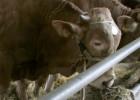 Galicia exportará semen de vacuno a Asia para mejorar su carne
