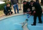 Los bomberos rescatan a un caballo del interior de una piscina en Llíria
