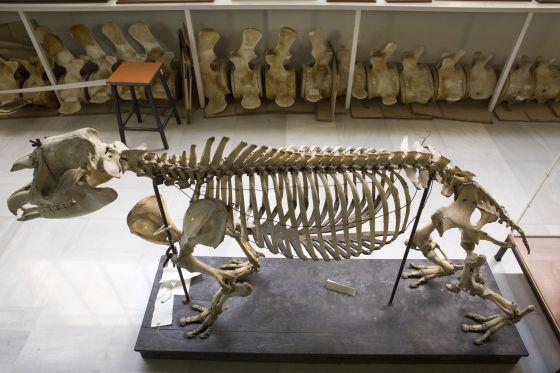 Ejemplares en el museo de Anatomía Compartida de Vertebrados, en la facultad de Biología.