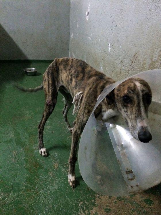 Un perro con un Collar isabelino en las dependencias del Cimpa.
