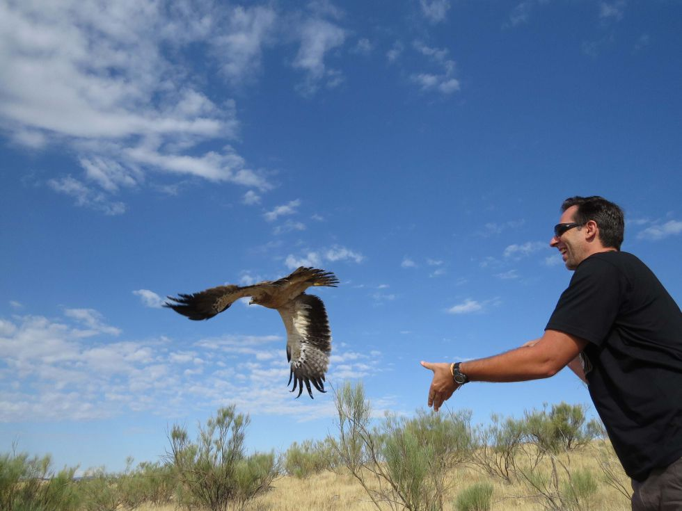 Un águila calzada rehabilitada en GREFA es liberada por la persona que la ha apadrinado.