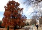 Alerta en torno al árbol más veterano de Madrid