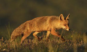 Uno de los zorros que se pueden ver desde los 'hides'.