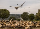 La Comunidad rechaza dejar carroña a los buitres para evitar ataques al ganado