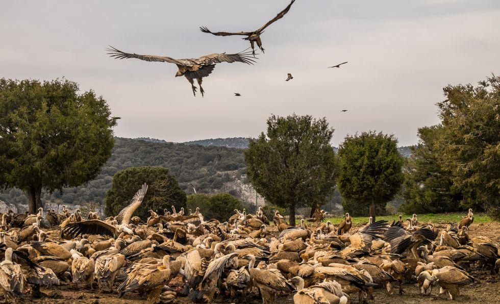 Buitres en el refugio de rapaces de Montejo de la Vega (Segovia) en 2015. La asociación WWF, que dirige el refugio, tiene un acuerdo con los ganaderos y mataderos locales para aportar un suplemento alimentario a los buitres.