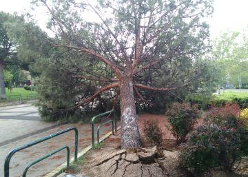 Un pino de grandes dimensiones cae en una pista de patinaje