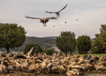 El buitre, principal víctima del veneno en Madrid