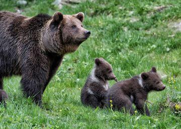 Nacen tres oseznos en cautividad en Val d'Aran