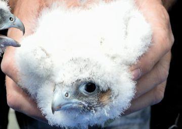 Anillan a los tres primeros halcones nacidos en el casco urbano de Alcalá