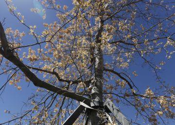 Muere el 'árbol de la Gürtel' que costó 104.000 euros