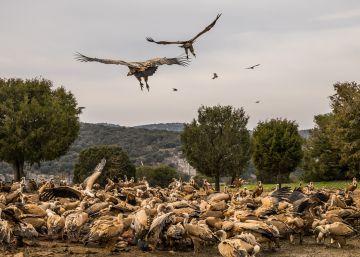 La Comunidad de Madrid indemnizará a los ganaderos por los ataques de buitres