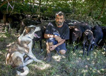 Los ataques al ganado de lobos y perros se han disparado desde 2014
