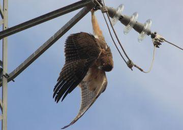 Nueve ONG se organizan para frenar la muerte de miles de aves en los tendidos eléctricos
