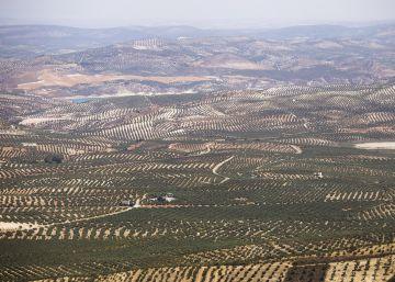El paisaje del olivar aspira a ser patrimonio mundial
