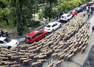 Las ovejas cruzan Madrid