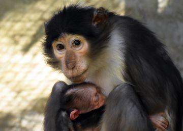 Nace un primate en peligro de extinción en el Zoo de Barcelona