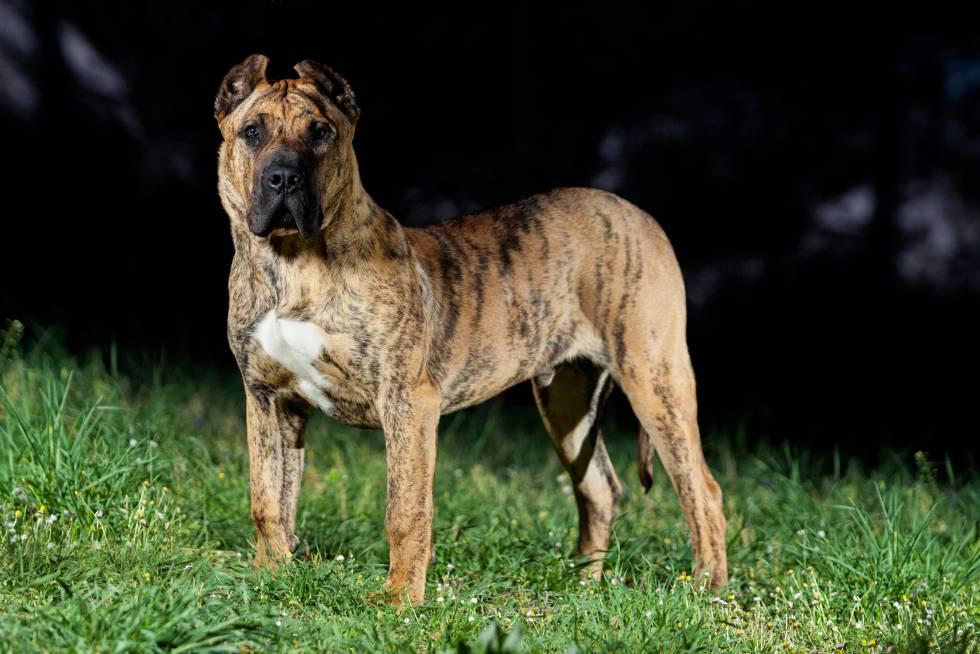 Un perro de presa canario
