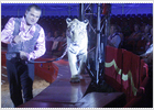 Magia con  tigres y señoritas
