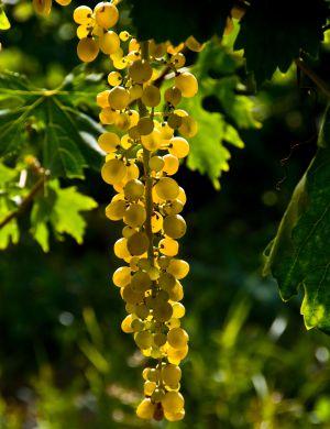 Racimo de uvas de malvasía de Sitges.