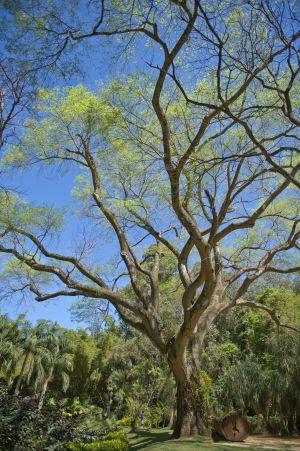 Uma árvore de 90 anos, na entrada de Inhotim.