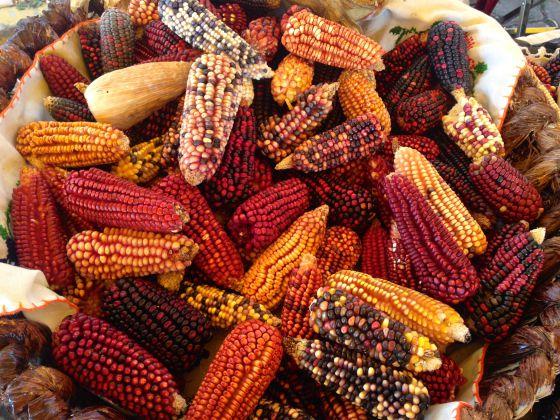 Mazorcas de maíz de la señora Tzoni Solís.